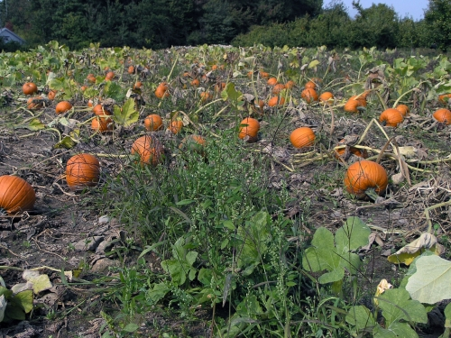 A pumpkin patch in Autumn.